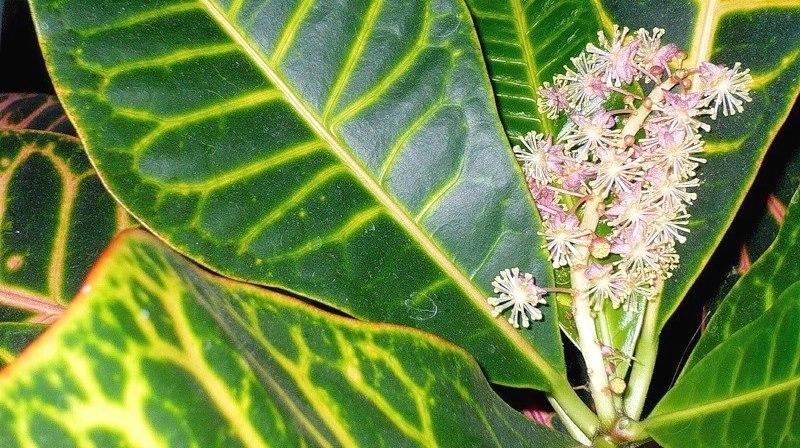 Комнатные цветы кодиеум как цветет