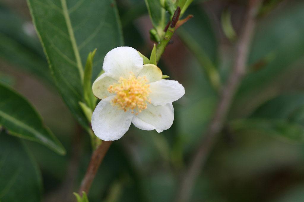 Чай цветок камелии