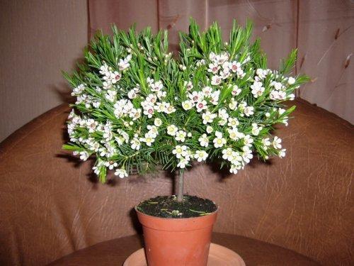 Мирт цветущий в домашних условиях