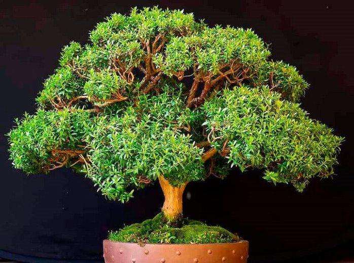 Комнатное растение мирт уход в домашних условиях