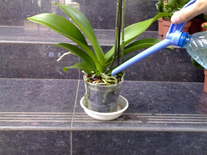 Как поливать правильно за орхидеями в домашних условиях