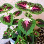 Окраска листьев колеуса