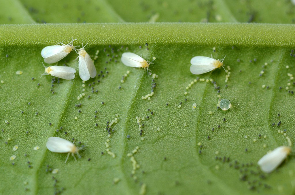 Личинки белокрылки