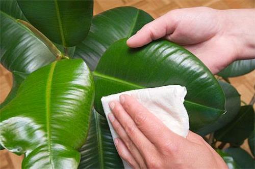 Протирка листьев комнатного растения