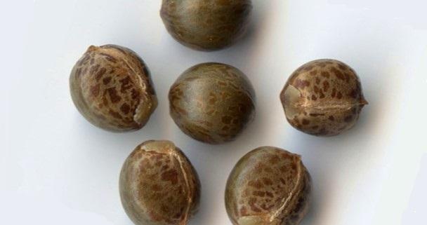 Семена кротона