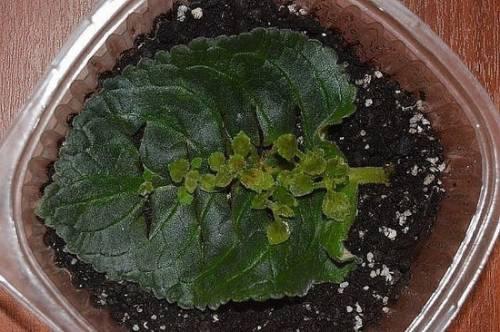 Размножение глоксинии фрагментом листа