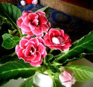 Глоксиния цветение