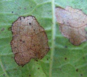 Антракноз на листьях глоксинии