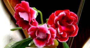 Цветущая глоксиния