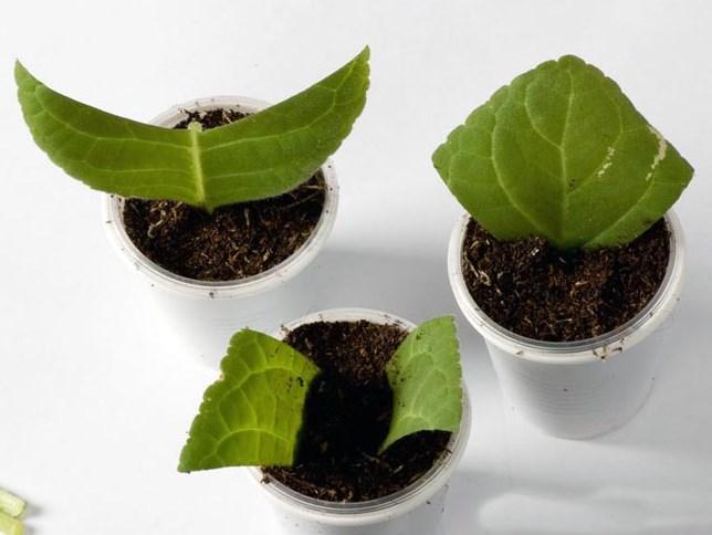 Можно ли размножить антуриум листом