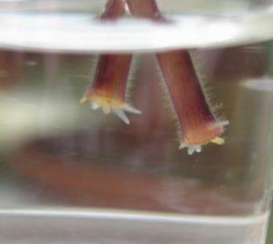 Укоренение глоксинии в воде