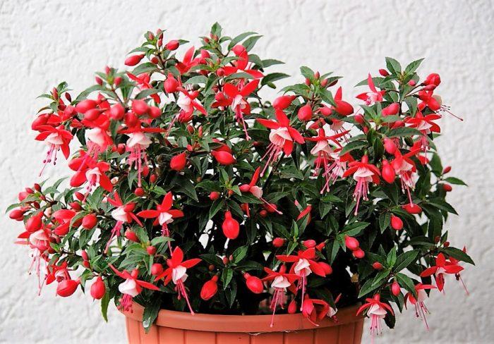 Цветок фуксия: уход, размножение, выращивание из семян 69