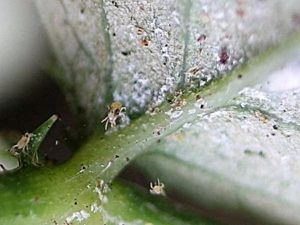 Фото паутинных клещей