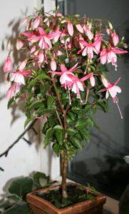 fuksia-bonsai-181x300.jpg