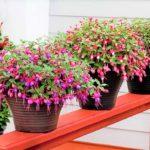Особенности выращивания и популярные сорта ампельной фуксии