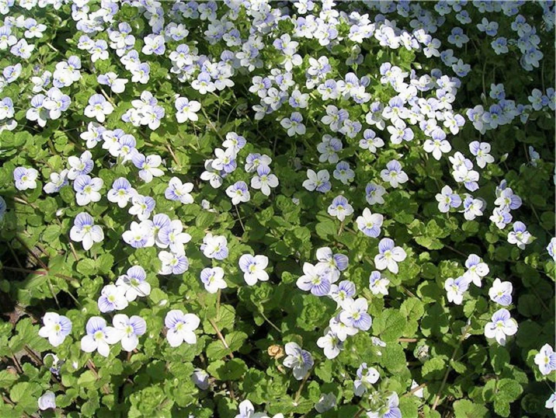 солейролия цветок фото