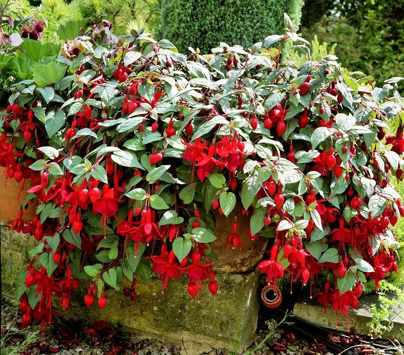 Ярко-красная фуксия (Fuchsia coccinea)