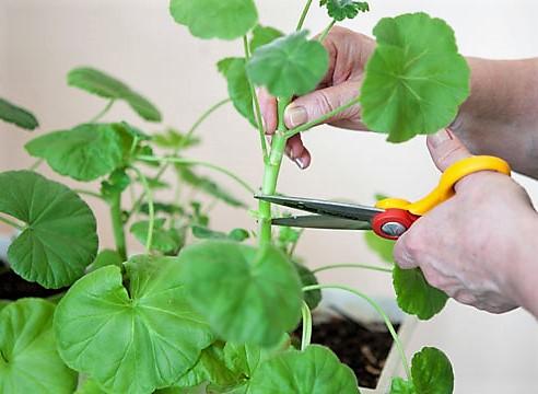 Potatura del pelargonium (geranio domestico)