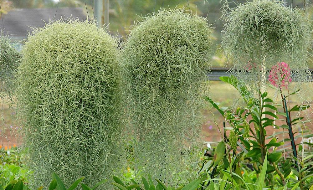 Тилландсия луизианский мох