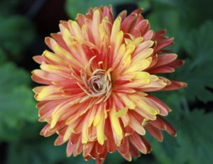 Хризантема Индийская
