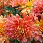 Хризантема Листопад