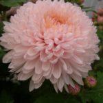 Хризантема Розово-кремовая