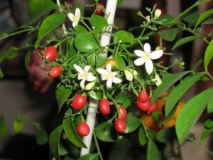 Цветение и плодоношение муррайи
