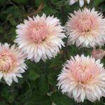 Хризантема Фламинго