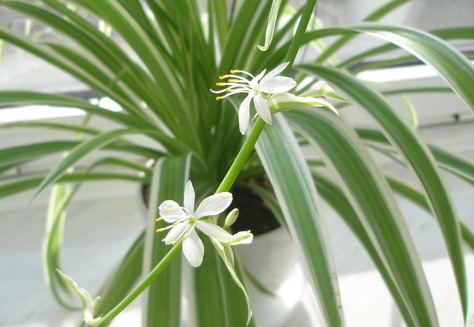 Цветение Хлорофитума