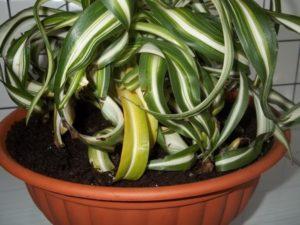 Загнивание листовой розетки хлорофитума