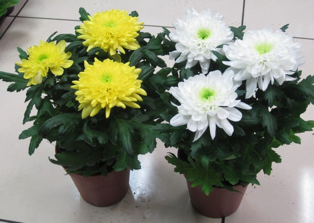 Горшок для хризантемы