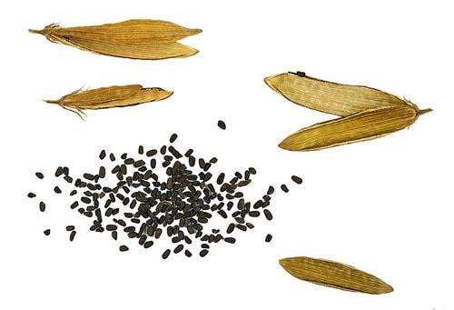 Семена катарантуса
