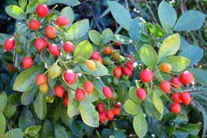 Плоды муррайи