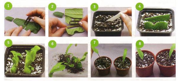 размножение стрептокарпуса листовыми прожилками