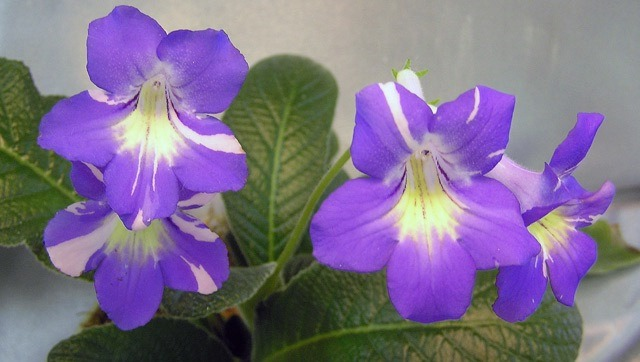 Streptocarpus Bristol's Party Girl