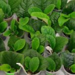Стрептокарпус из семян в домашних условиях как правильно осуществить посев семян стрептокарпуса Выращивание и уход в домашних условиях