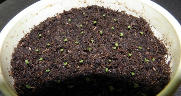 размножение стрептокарпуса семенами