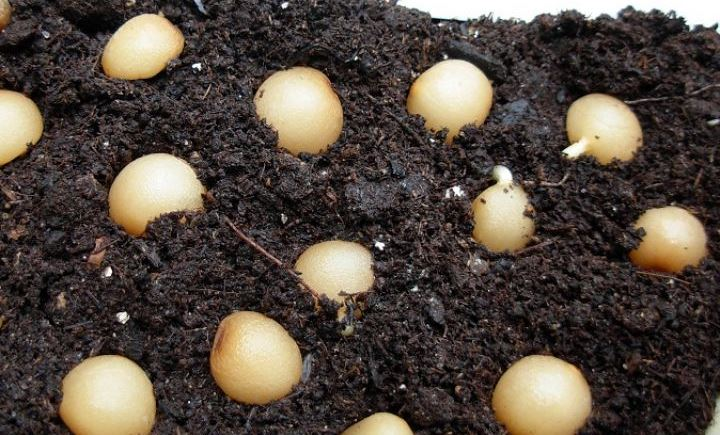 семена Кливии