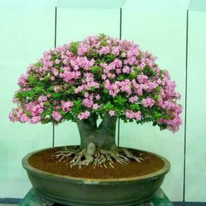 Розовый Адениум