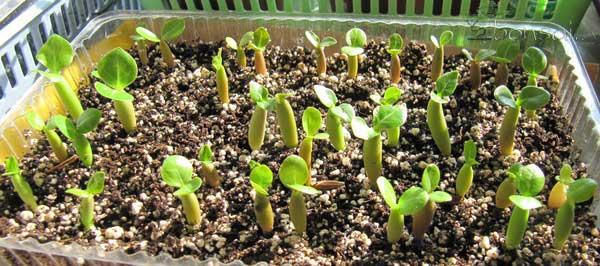 Пророщенные семена адениума
