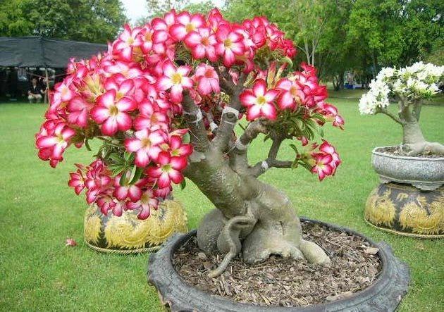 Цветок Адениум (Adenium) фото
