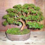 Мирт bonsai