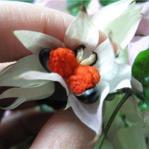 Выращивание Клеродендрума из семян