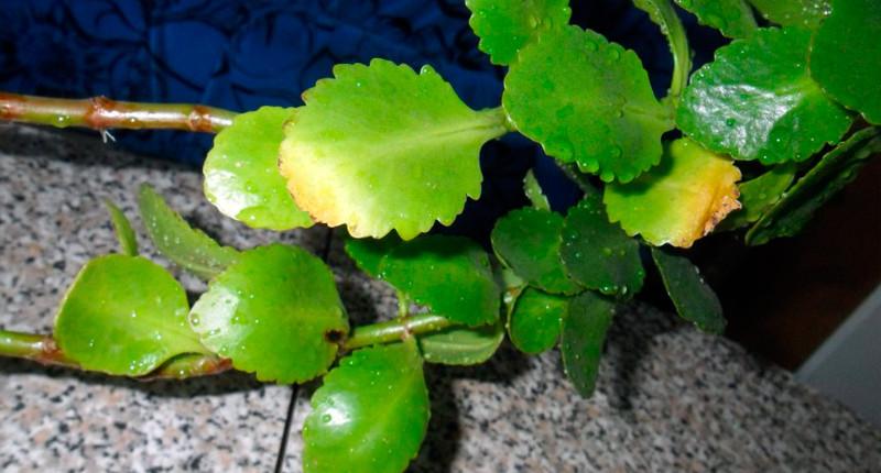 Каланхоэ желтеют листья