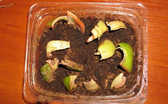 Размножение Гиппеаструма чешуйками