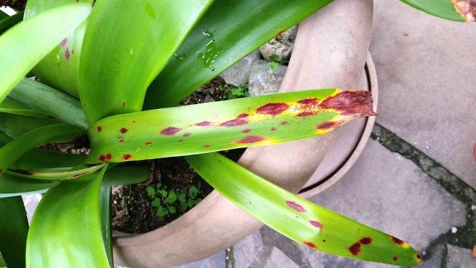 Красный ожог на листьях гиппеаструма