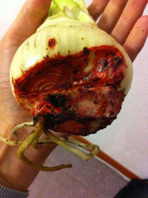 Красный ожог на луковице Гиппеаструма