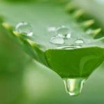 Невероятное растение Алоэ Вера: полезные свойства