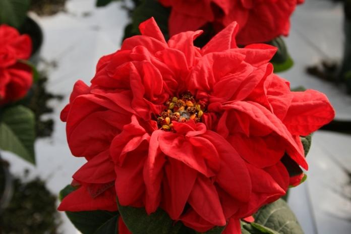 пуансеттия зимняя роза