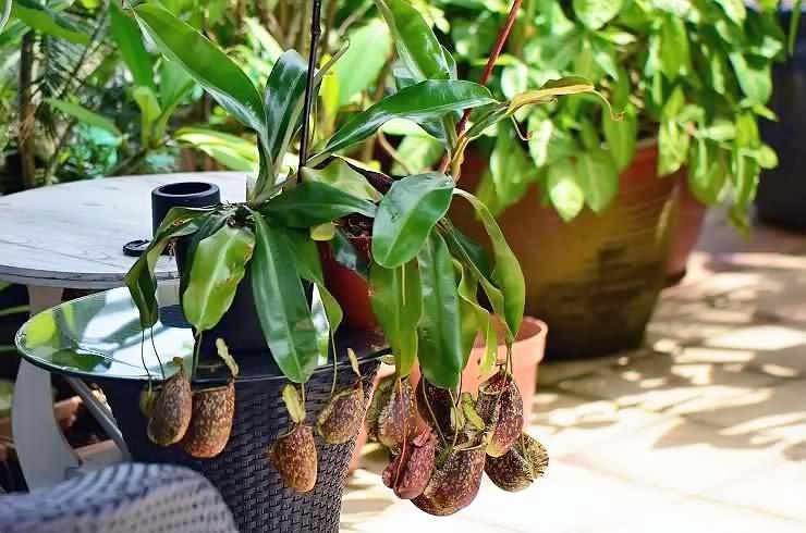непентес мадагаскарский растение хищник